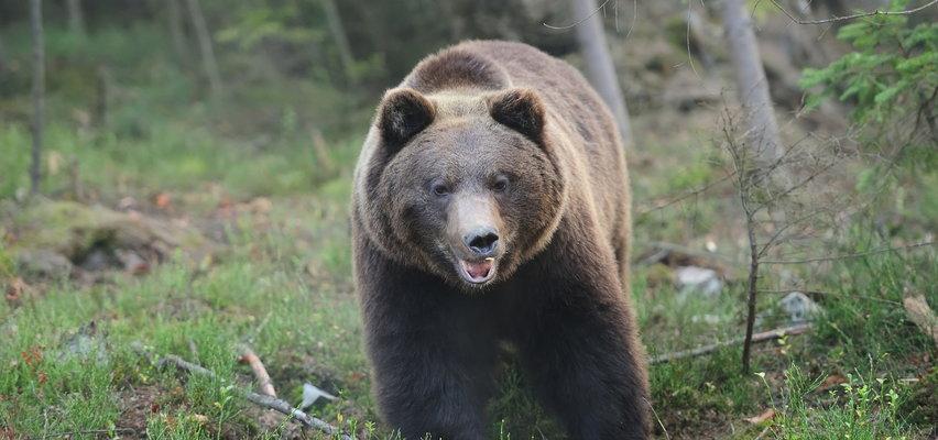 Niedźwiedź grasuje po Zakopanem. TPN ostrzega przed realnym zagrożeniem [WIDEO]