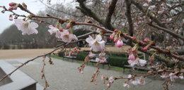 W Polsce jak w Chinach. Zakwitły wiśnie!