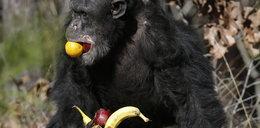 Ile krwi musi wypić nietoperz? Ile jedzą inne zwierzęta?