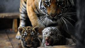 Indie: wzrosła populacja tygrysów