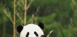 Pandy przyłapane na seksie! Mamy wideo