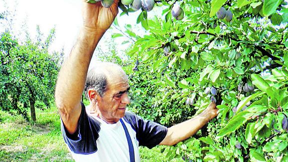 Milutin Rakić gaji šljivu na devet hektara