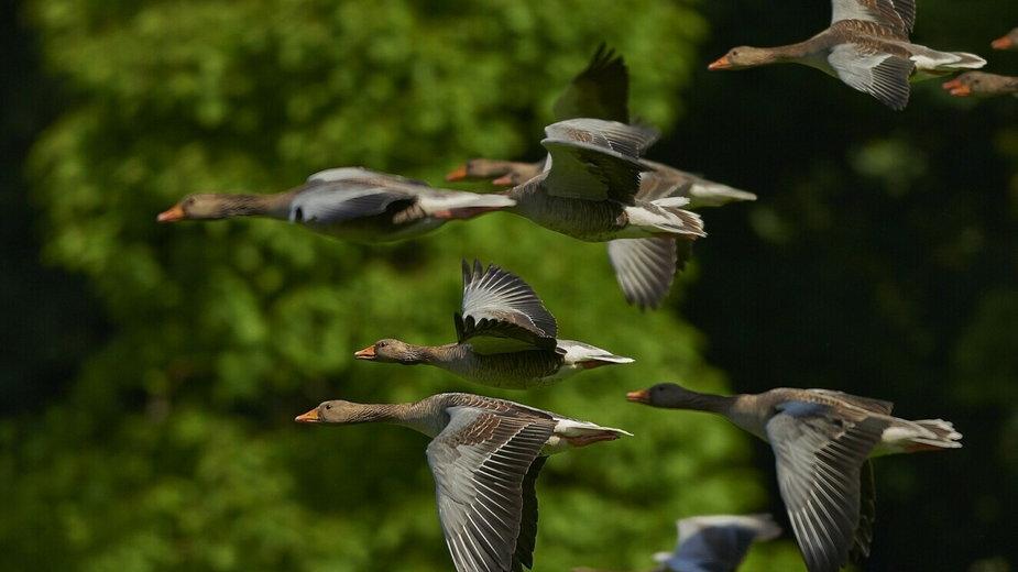 W ciele łabędzia znalezionego na jeziorze Klukom wykryto wirusa grypy ptaków