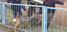 Strażnicy uratowali młodą sarnę