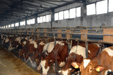 krave stoka mlekari Semberija