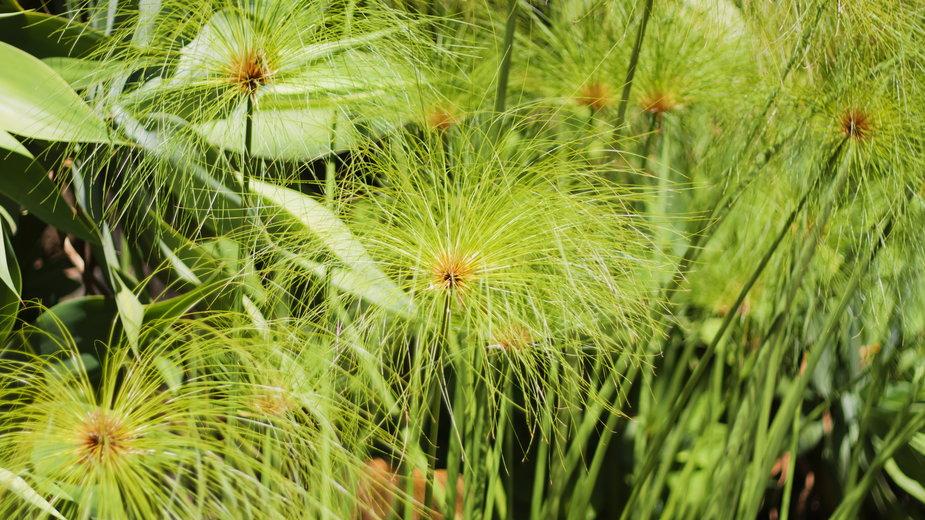 Cibora papirusowa ma nietypowy wygląd - Nadmak/stock.adobe.com