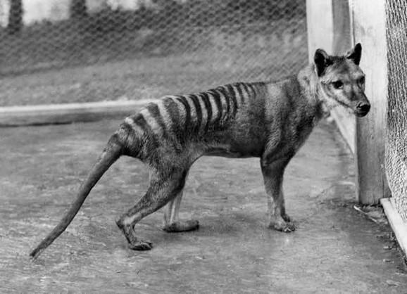 Tasmanijski tigar ili tilacin