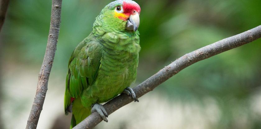 Papugi niszczą plantacje maku. Są uzależnione od opium