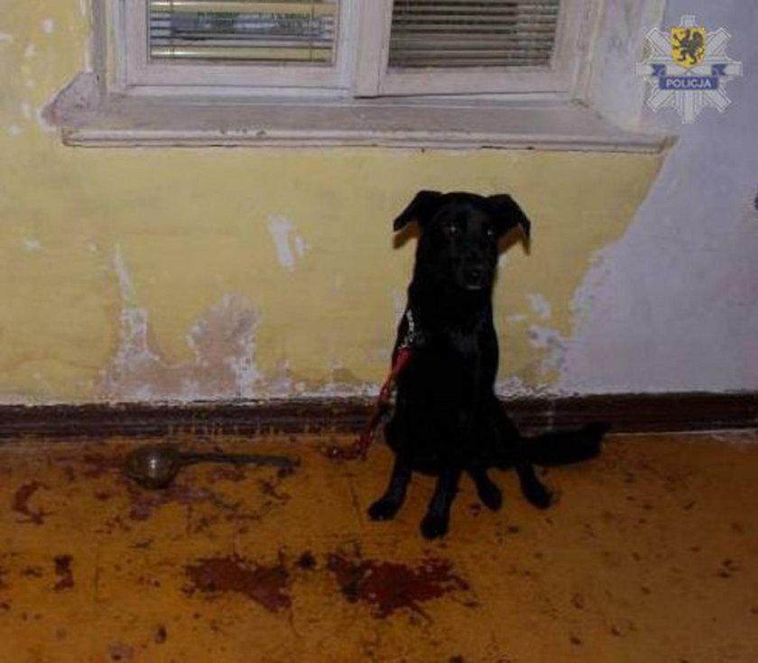 Pies na smyczy przybitej do podłogi gwoździami