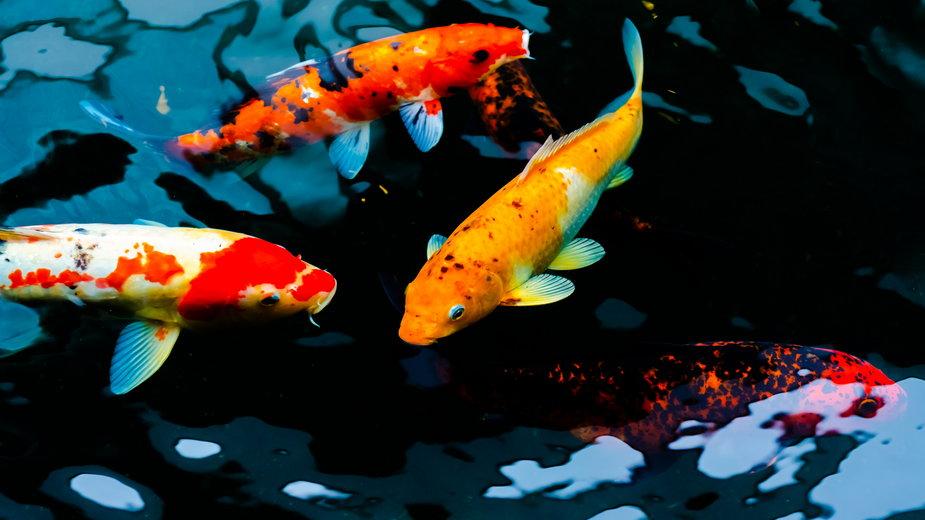 Karaś koi to najpopularniejsza ryba wybierana do oczka wodnego - pojvistaimage/stock.adobe.com