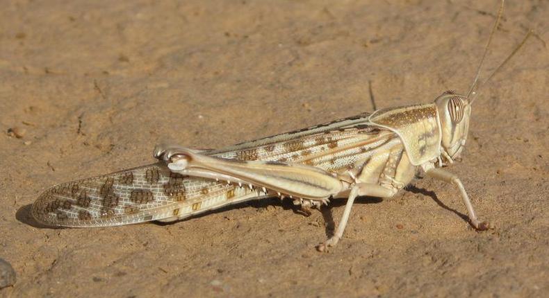 A desert locust. (cirad)
