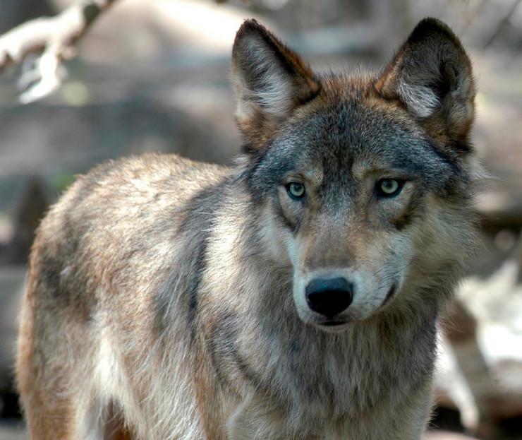 Kako je vuk evoluirao u psa?
