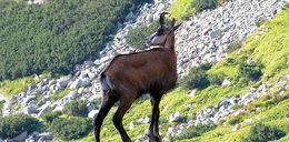 Policzyli kozice w Tatrach
