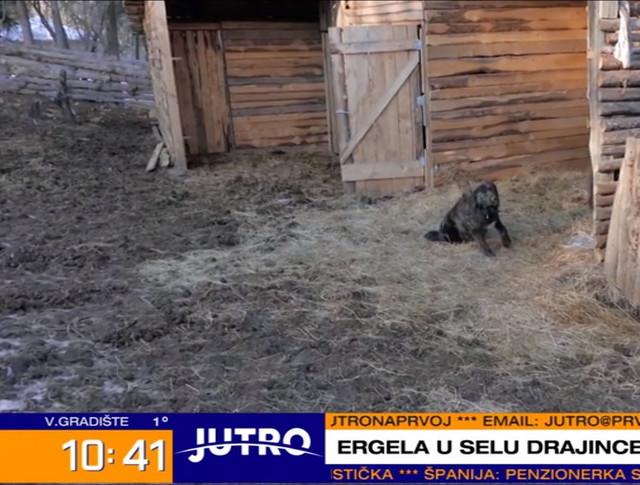 Silvan, stara srpska autohtona vrsta psa