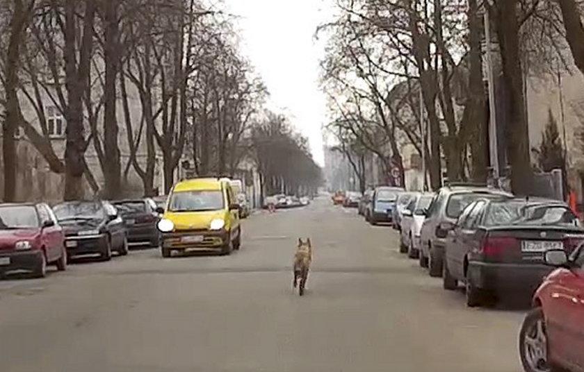 Wilk na ulicach Łodzi