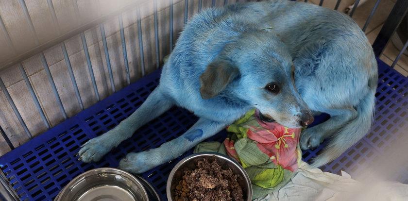 Wataha niebieskich psów. Złapano jedno ze zwierząt. Co już o nich wiadomo? Kolor ich sierści zmienił się przez...