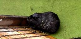 Leśnicy uratowali bobra