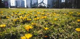 Czuć już wiosnę! Lecą bociany, kwitną krokusy!