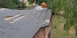 Nietypowa akcja strażaków. Krowa weszła na dach dworku