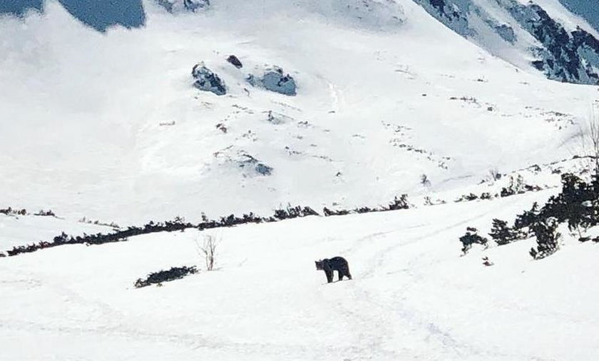 Niedźwiedź w Dolinie Pięciu Stawów