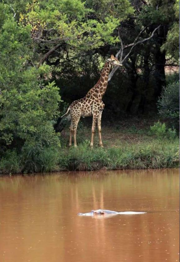 Žirafa Džerald
