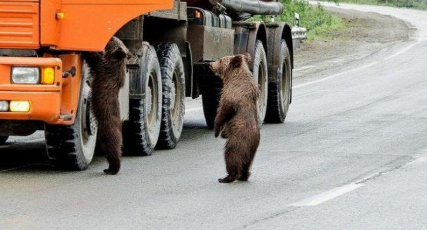 Niedźwiedzie chcąsięprzejechaćtirem