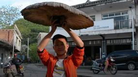 """""""Grzyb nieśmiertelności"""" o rozmiarach parasola znaleziony w Chinach"""