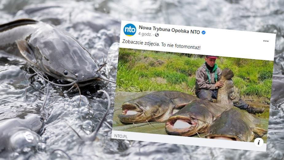 Mieszkaniec woj. lubuskiego łowi gigantyczne sumy w Odrze