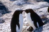Pingvini