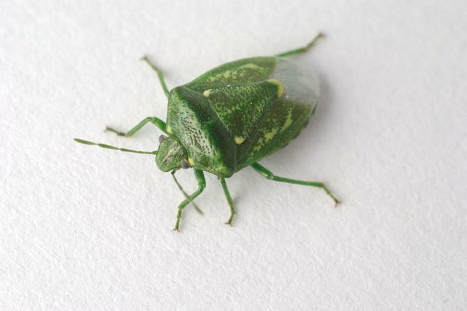 Zelene smrdibube su češće u jesen