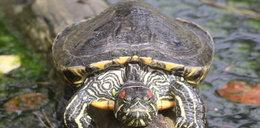 W zoo uśpili 34 żółwie. Będzie kontrola
