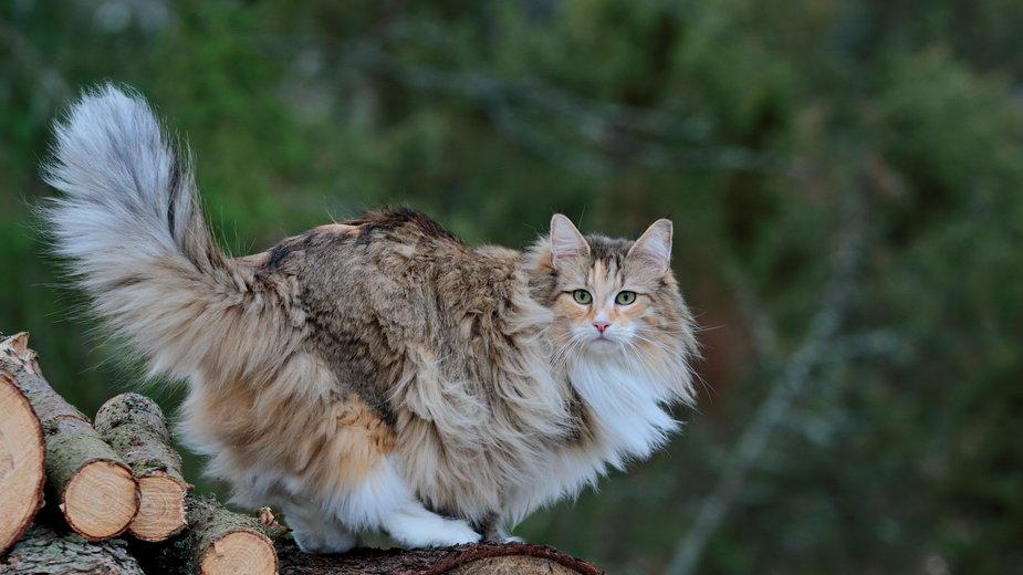 Kot norweski leśny wygląda bardzo efektownie - puteli/stock.adobe.com