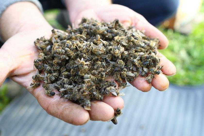 Otrutne pszczoły