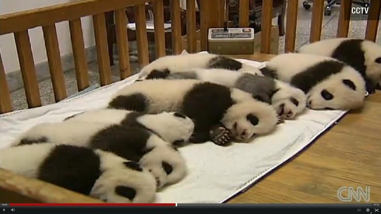 0005bc03ce3a68 Pogledajte kako slatko spava 14 beba pande