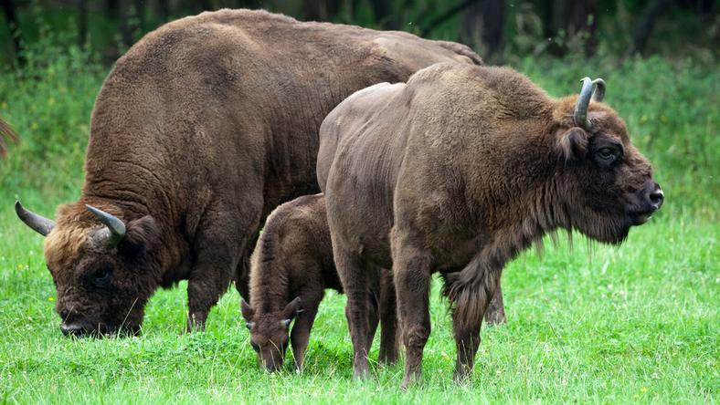 Populacja żubrów w całych Bieszczadach przekracza 400 osobników
