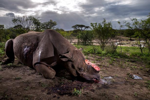 I nagroda w kategorii: Natura Autor: Brent Stirton (Getty Images dla National Geographic Magazine) Preparaty przygotowywane z rogu nosorożca są według tradycyjnej medycyny stosowanej w Azji lekiem na niemal każde schorzenie. Stąd cena tego surowca jest w Chinach i Wietnamie wyższa od stawek za złoto. Na południu Afryki, na granicy RPA i Mozambiku toczy się walka pomiędzy kłusownikami a organizacjami chroniącymi te duże ssaki.