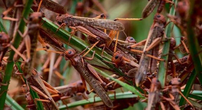 Locusts invade farms in Kenya