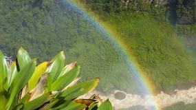 Kwitnące lilie Gujany