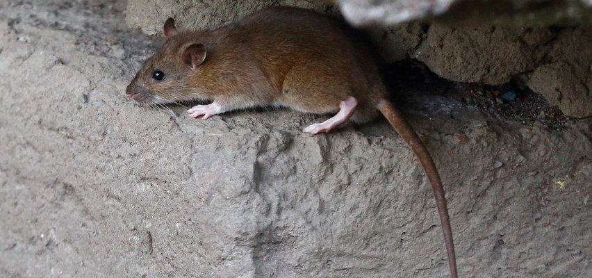 Plaga szczurów w Lublinie. Gryzonie zagnieździły się na placu zabaw. Mieszkańcy drżą o swoje dzieci [WIDEO]