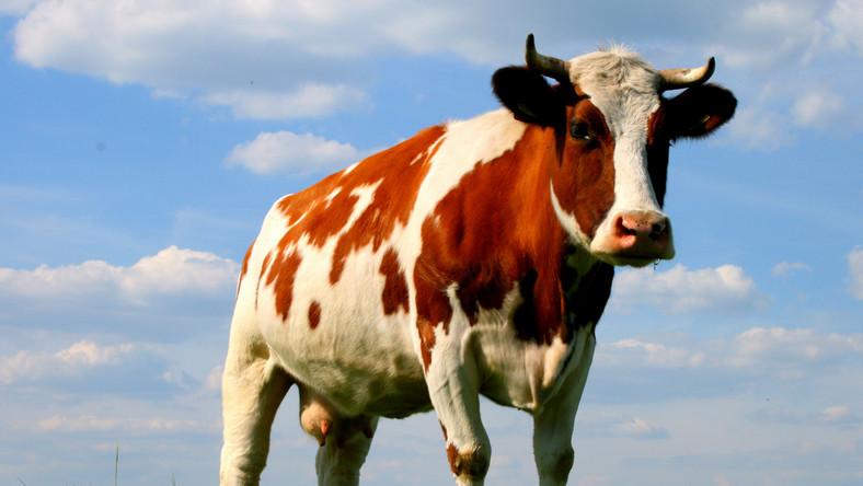 Naukowcy odczytali DNA krowy