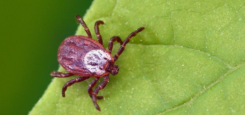 Czy kleszcze mają ulubione kolory? Lekarz rozprawia się z mitami na temat tych pajęczaków