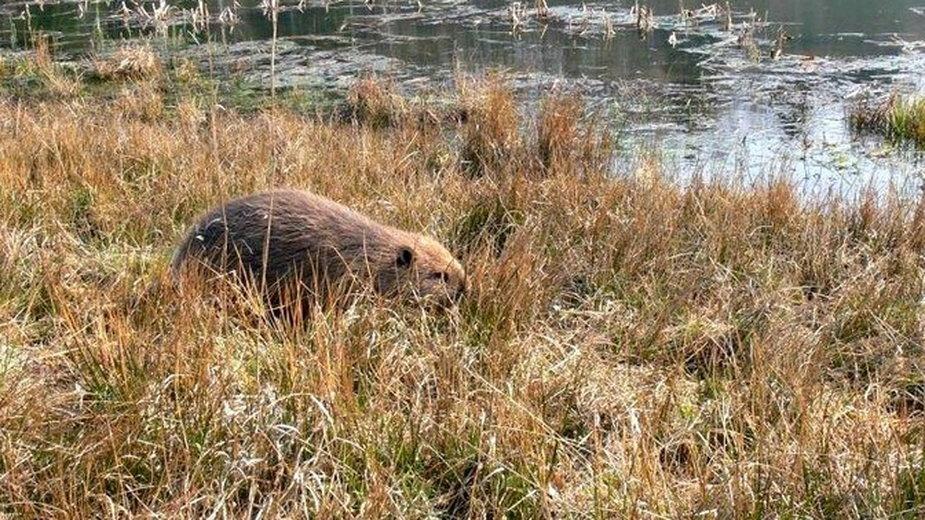 Kłopoty z bobrami w Bełchatowie