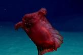 bezglavo pileće čudovište plivajući morski krastavac