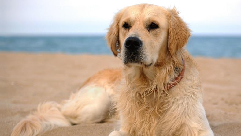 golden retriever labrador