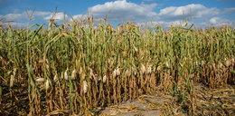 Zwłoki w polu kukurydzy. Zatrzymano Polaka
