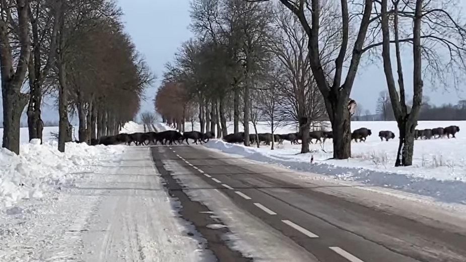 Żubry przebiegające przez drogę