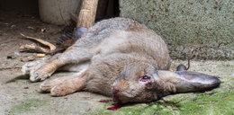 Na królikach ćwiczył mordowanie ludzi