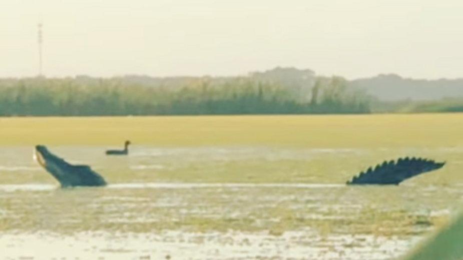 Aligator gigant pożera kaczki na Florydzie
