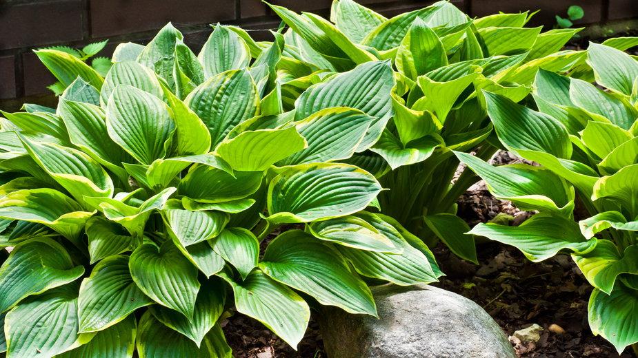 Rośliny cieniolubne do ogrodu, hosty - diablo_luk/stock.adobe.com