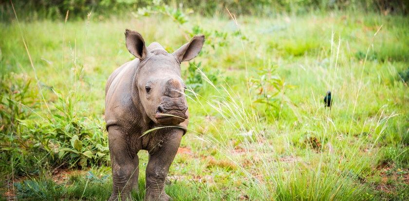 Tragedia w niemieckim zoo. Urodził się mały nosorożec, ale trzeba go było uśpić